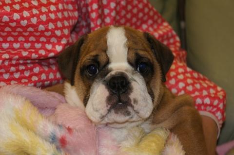 ブルドッグの子犬の写真201211054