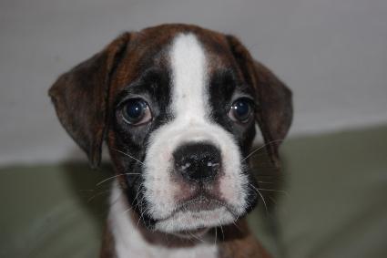 ボクサーの子犬の写真201106051