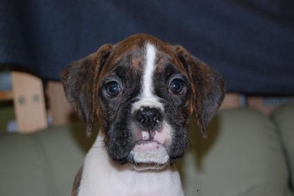 ボクサーの子犬の写真