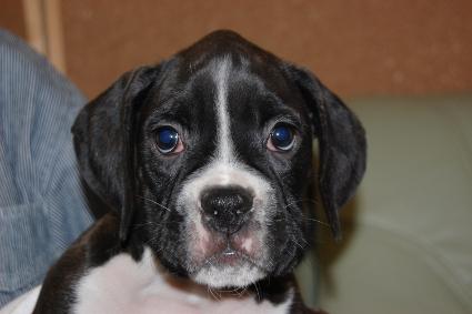ボクサー犬の子犬の写真