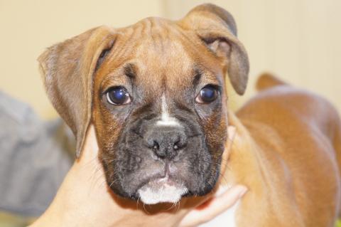 ボクサー犬の子犬の写真201209261