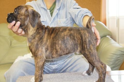 ボクサー犬の子犬の写真201208201-2