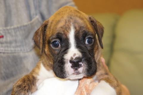 ボクサー犬の子犬の写真201212202