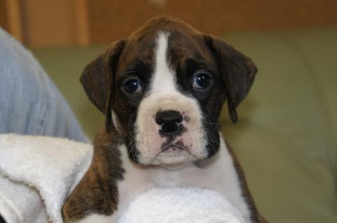 ボクサー犬の子犬の写真201212201