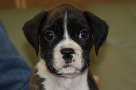 ボクサー犬の子犬の写真201212206