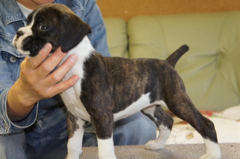 ボクサー犬の子犬の写真201212206-2