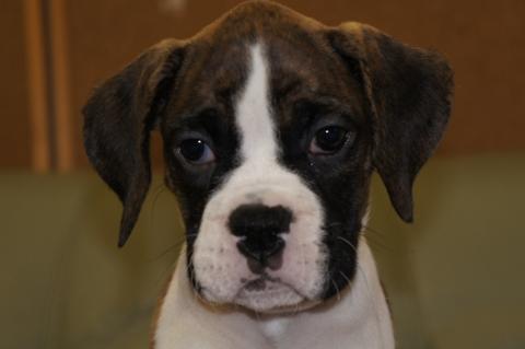 ボクサー犬の子犬の写真201212205