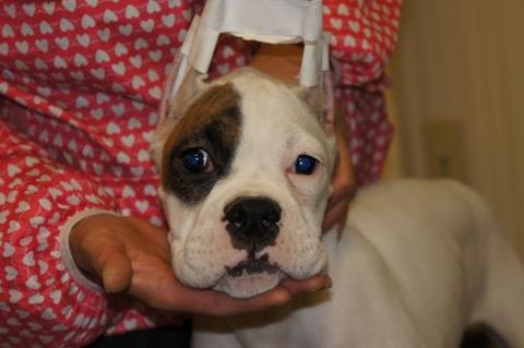 ボクサー犬の子犬の写真201212203