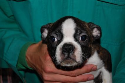 ボストンテリアの子犬の写真No.200812141