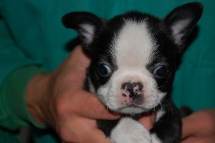 ボストンテリアの子犬の写真No.200901141