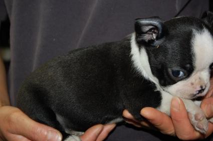 ボストンテリアの子犬の写真No.200905261-2