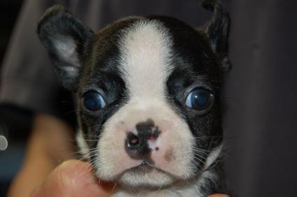 ボストンテリアの子犬の写真No.200905262