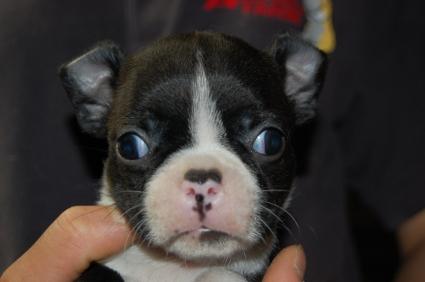 ボストンテリアの子犬の写真No.200905263
