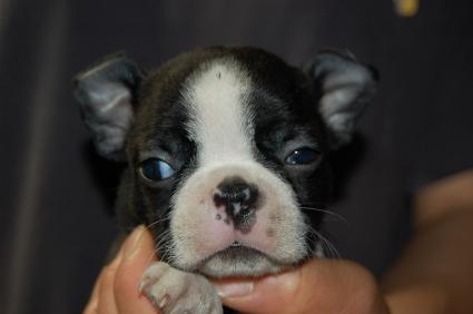 ボストンテリアの子犬の写真No.200905264