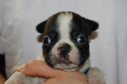ボストンテリアの子犬の写真No.200906271