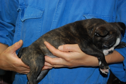 ボストンテリアの子犬の写真No.200906273-2