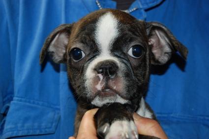 ボストンテリアの子犬の写真No.200906274