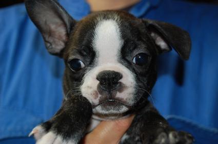 ボストンテリアの子犬の写真No.200906273