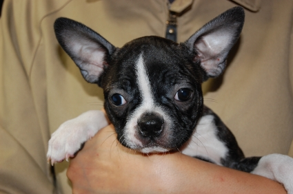 ボストンテリアの子犬メスの2頭目の写真正面から