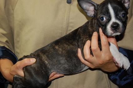ボストンテリアの子犬メス2頭目の写真側面から