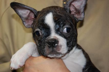 ボストンテリアの子犬メス1頭目の写真正面から