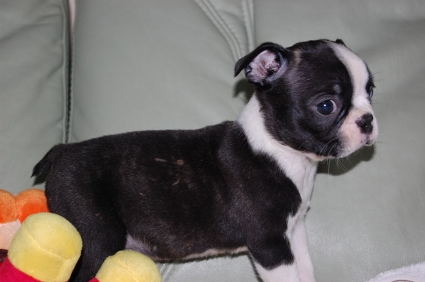 ボストンテリアの子犬の写真No.200909101-2