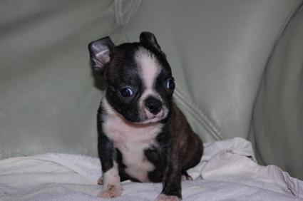 ボストンテリアの子犬の写真No.200909102