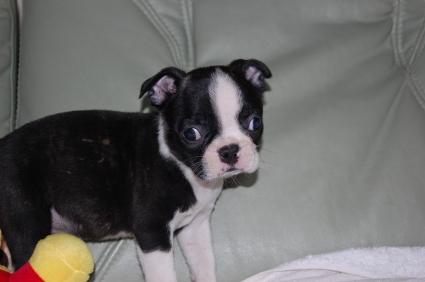 ボストンテリアの子犬の写真No.200909101