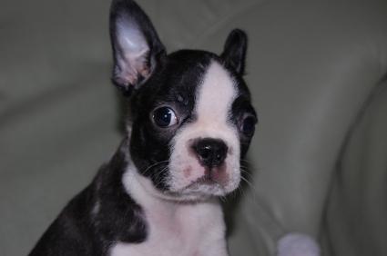 ボストンテリアの子犬の写真No.200909103