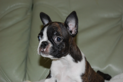 ボストンテリアの子犬の写真No.200909104