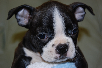 ボストンテリアの子犬の写真No.200912154