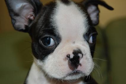 ボストンテリアの子犬の写真No.200912151