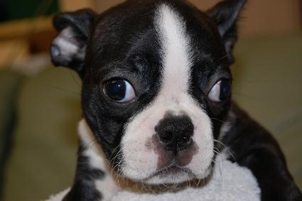 ボストンテリアの子犬の写真No.200912153