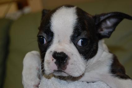 ボストンテリアの子犬の写真No.200912152