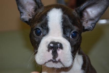 ボストンテリアの子犬の写真No.200912155