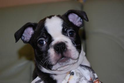 ボストンテリアの子犬の写真No.201002171