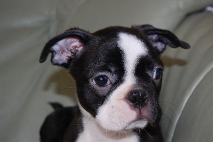 ボストンテリアの子犬の写真No.201005051