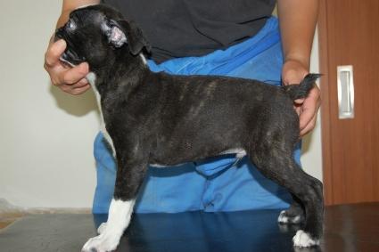 ボストンテリアの子犬の写真No.201005051-2