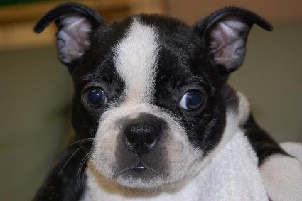 ボストンテリアの子犬の写真No.201006221