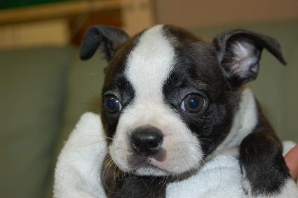 ボストンテリアの子犬の写真No.201006222