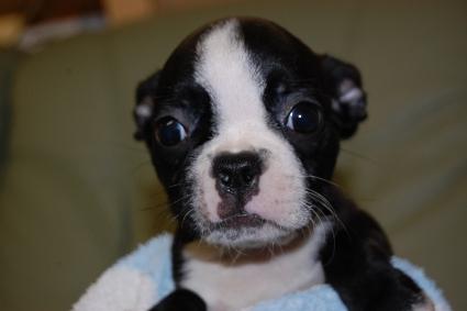 ボストンテリアの子犬の写真No.201007033
