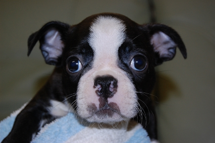 ボストンテリアの子犬の写真No.201007031
