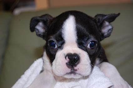 ボストンテリアの子犬の写真No.201007032