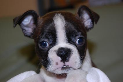 ボストンテリアの子犬の写真No.201011111
