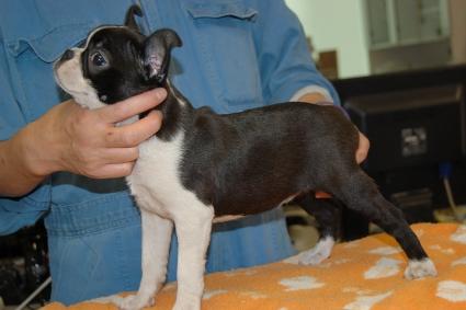 ボストンテリアの子犬の写真No.201101191-2