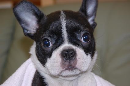 ボストンテリアの子犬の写真No.201101191