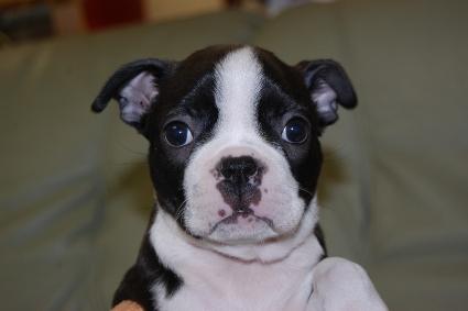 ボストンテリアの子犬の写真No.201102272