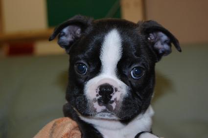 ボストンテリアの子犬の写真No.201102271