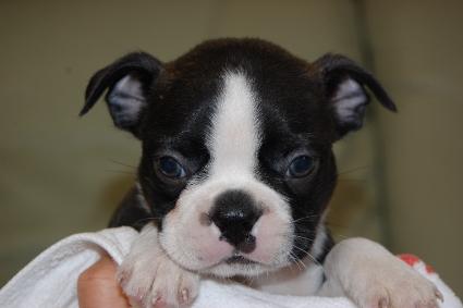 ボストンテリアの子犬の写真No.201108112