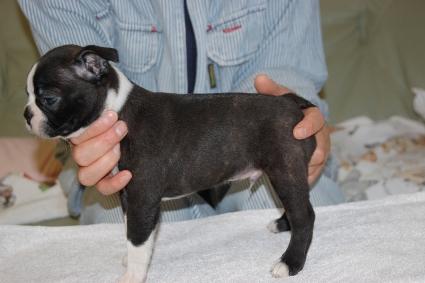 ボストンテリアの子犬の写真No.201108112-2